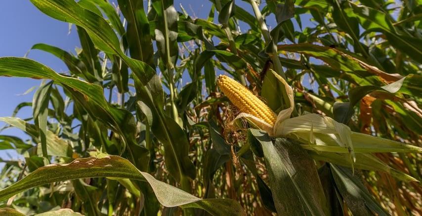 kukuruza-kurkul-46911.jpg
